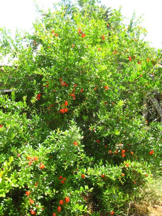 Pomegranate Magnolia White Tea from Upton Tea Imports - Oolong Owl Tea Review (2)